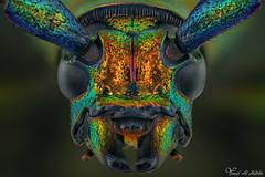 Musk beetle (Aromia moschata) (Yousef Al-Habshi) Tags: yousef al habshi macro insect bug musk beetle aromia moschata uae abu dhabi nikon d800e
