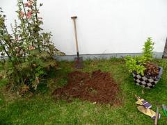 Gartenarbeit (onnola) Tags: germany garden deutschland bed beet hollyhock garten koblenz spade stockrose rheinlandpfalz spaten gartenarbeit rhinelandpalatinate umgraben