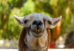 Llama (sue2028) Tags: california rescue face animal outdoors losangeles vegan eyes funny farm teeth llama ears sanctuary animalsanctuary santaclarita farmsanctuary