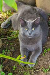 VECINO (Augusto Silva Otero) Tags: colombia criollos fauna fincas gatos naturaleza pavas valle