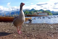 Photobombing Goose! (Nige H (Thanks for 6m views)) Tags: lake nature landscape goose derwentwater photobomb photobombinggoose