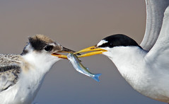 Least Tern feeding time (Thy Photography) Tags: bird nature animal canon photography backyard feeding outdoor wildlife fullframe tern avian shorebirds leasttern canon600mmf4 canoneos1dx