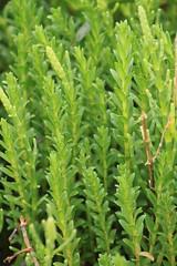 IMG_8223 (TMM Cotter) Tags: rathtrevor beach provincial park parksville bc honckenya honkenya peploides seabeach sandwort