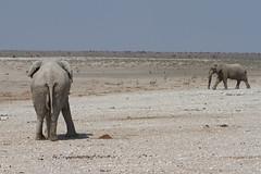 Namibia 2016 (310 of 486) (Joanne Goldby) Tags: africa africanelephant august2016 elephant elephants etosha etoshanationalpark explore loxodonta namiblodgesafari namibia safari