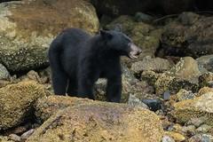 Rock n' Roller (T0nyJ0yce) Tags: wild blackbear sow cute animals ursusamericanus mammals crabbing islands westcoast foggy mist wildlife beach pnw bears