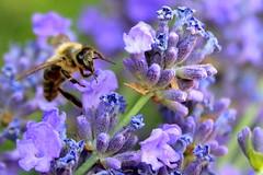 this little world (sonicka.karen) Tags: bee flower lavender summer macro purple nature