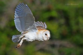 Barn Owl (explored)
