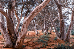 Dry River Bed (G. Cordeiro) Tags: painting riverbed river eucalyptus australian outback redearth nature