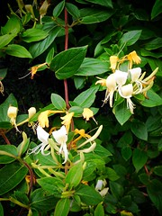 Still flowering (JulieK (finally moved to Wexford)) Tags: honeysuckle bloom plant 2016onephotoeachday iphone5 wexford ireland irish flora