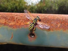 Guêpe Polistes (Didier Auberget Photographie) Tags: macro insecte insecta endopterygota hymenoptera apocrita vespoidea vespidae polistinae hyménoptère polistes guêpe wasp vespinae