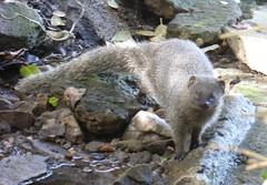 Little Grey Mongoose (tapaculo99) Tags: animal mammal africa southafrica hermanus mongoose littlegreymongoose capegreymongoose galerellapulverulenta