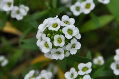 Sweet alyssum (Lobularia marítima) (kyoshiok) Tags: flower japan garden kyoto sweetalyssum lobulariamarítima
