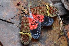 Lantern bug (ggallice) Tags: rainforest costarica laselva lanternbug fulgoridae phrictusquinqueparitus