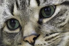 Chauncey 100mm (wcwhiting) Tags: canon t3i cat cats felines idiot wcwhiting billwhiting 100mm28l 100mm28lmacro 100mm28macro 100mm ef100mmf28lisusmmacro billwhiing