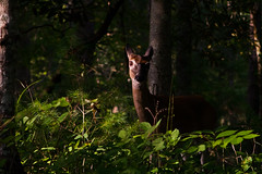 Assesing the Situation (Majtek862) Tags: trees light summer portrait plants green nature face leaves animal pine female contrast rural forest pose hair fur nose eyes woods shadows bokeh head tennessee wildlife atmosphere sunny ears doe deer attitude bark camouflage shade limbs roadside gaze appalachia whitetail underbrush