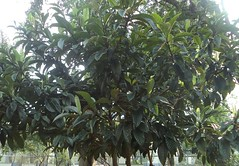 Eriobotrya japonica 0 (alfredoeloisa) Tags: plantae loquat rosales angiospermae rosaceae eriobotrya eriobotryajaponica japanesemedlar níspero dicotyledoneae míspero
