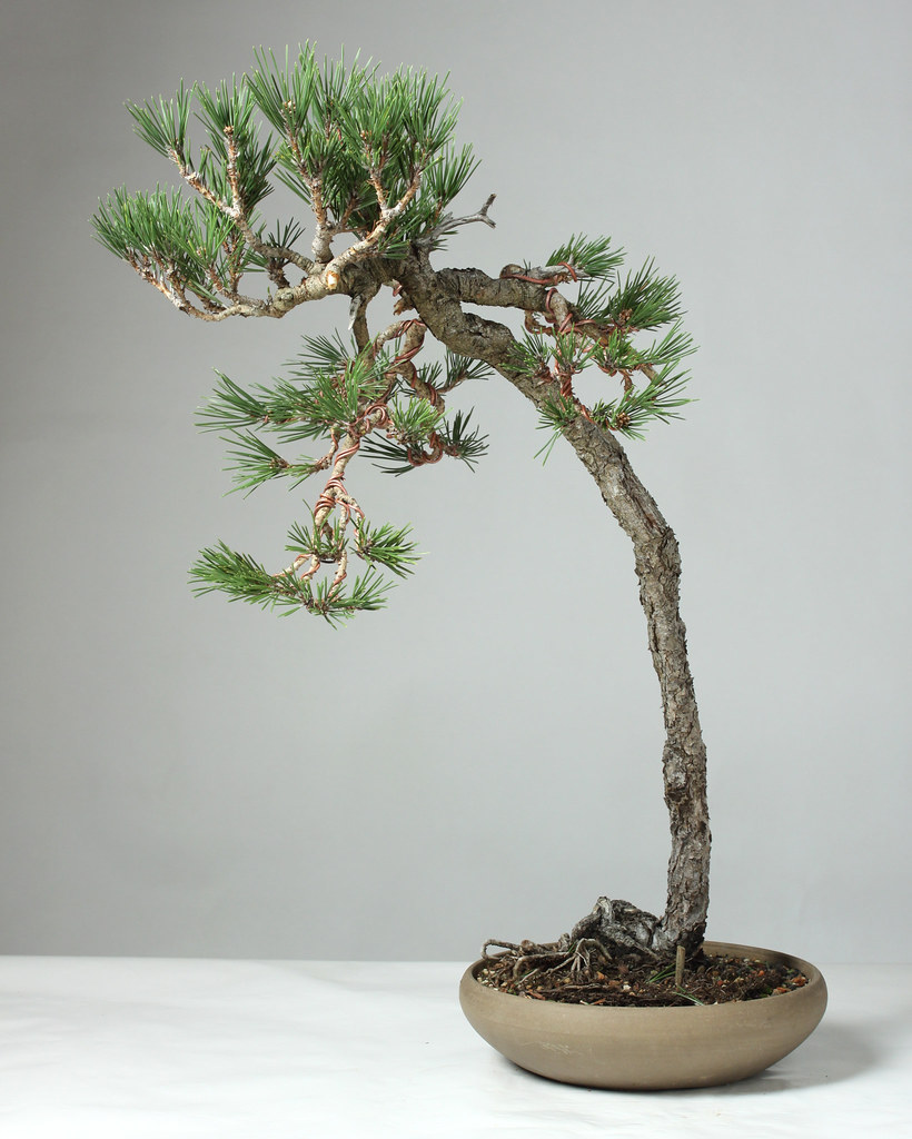 The world 39 s best photos of bonsai and literati flickr for Literati bonsai gallery