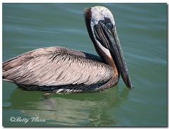 Brown Pelican (Betty Vlasiu) Tags: brown bird nature florida wildlife pelican occidentalis pelecanus