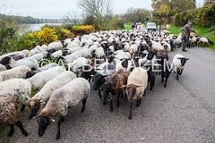 IMG_7816 (abphot) Tags: horizon past loire moutons nevers brebis transhumance troupeau abphot atbelkacem neversnievre