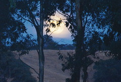 "A golden moon rising through the trees. Photo: Josophine Chiuchiolo, Native Valley. • <a style=""font-size:0.8em;"" href=""https://www.flickr.com/photos/48334191@N00/15456719963/"" target=""_blank"">View on Flickr</a>"