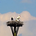 Close-up Storks Nest, Odijk, Netherlands - 2544 thumbnail