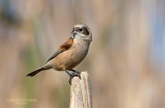 Pendolino (franco 1961) Tags: bird birds uccelli oiseaux avifauna uccello remizpendulinus insettivoro