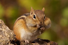 If You're Happy And You Know It Clap Your Hands (flipkeat) Tags: wild cute nature animal closeup different wildlife sony awesome chipmunk cheeks 500 mississauga alvin chippy tamias