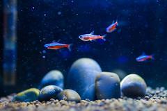 Father's aquarium ((媽哈哈哈)™) Tags: fish aquarium neontetra aquire ef35f14l canon5dmarkii