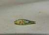 Flatidae? Leaf hopper DSCF4617 (Bill & Mark Bell) Tags: insect australia westernaustralia animalia arthropoda leafhopper exmouth planthopper insecta hemiptera pterygota flatidae auchenorrhyncha fulgoroidea neoptera taxonomy:class=insecta taxonomy:kingdom=animalia taxonomy:phylum=arthropoda taxonomy:subclass=pterygota taxonomy:order=hemiptera taxonomy:suborder=auchenorrhyncha geo:country=australia fulgoromorpha geo:state=westernaustralia taxonomy:infraclass=neoptera taxonomy:family=flatidae taxonomy:superfamily=fulgoroidea geo:town=exmouth geo:lon=11425453egeolat2217752sgeoalt8m taxonomy:infraorder=fulgoromorpha 11425453e2217752salt8m taxonomycommonnameplanthopper