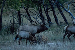 IMG_0433a (markbyzewski) Tags: colorado ugly elk estespark rockymountainnationalpark rut