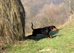 novemberi séta / walking in November (debreczeniemoke) Tags: autumn dog meadow haystack kutya ősz frakk rét transylvanianhound szénaboglya erdélyikopó canonpowershotsx20is transylvanianbloodhound