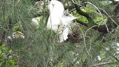 mjc-2014-12-29-IMG_7747 (wiccked) Tags: waterlilies frogs colony waterbirds roost cattleegret breedingplumage gympie lakealford chicksnestsardeolaibisintermediateegretefrettaintermediastrawneckedibisthreskiornisspinicollissacredibisthreskiornisaethiopica