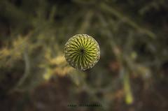 virgin flower (naser.shirmohamadi) Tags: flower nature blossom burr naser   shirmohamadi