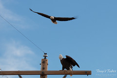 4 of 4 - An aggressor Bald Eagle buzzes another eagle