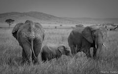 Personne devant, personne derrière. (stalderth) Tags: voyage nikon safari serengeti animaux thierry afrique bigfive faune tanzanie eléphant stalder pachyderme faunesauvage eléphanteau d7000 thierrystalder