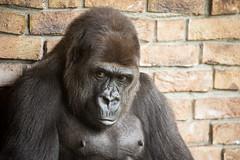 2014-09-24-12h31m20.BL7R0739 (A.J. Haverkamp) Tags: zoo gorilla thenetherlands kerkrade dierentuin lowlandgorilla westelijkelaaglandgorilla canonef100400mmf4556lisusmlens gaiazoo pobbekesbourneengland httpwwwgaiazoonl tamidol dob21121998