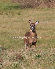 IMG_6409 (lloydsjourney) Tags: wild animal wildlife maine young deer rack lloyd alexander buck antler lloydalexander