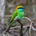 Yala Bee-Eater