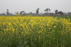 DSC_3278 (imagespakistan) Tags: water yellow crop agriculture mustardfield irrigation farmar sarson agri tubewell musterd