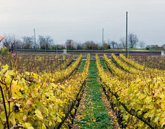 Vineyard (Bephep2010) Tags: lake schweiz switzerland see vineyard sony bern alpha 77 weinberg bielersee lacdebienne lakebiel laneuveville neuenstadt lakebienne sal35f18 slta77v