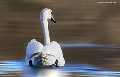 swan (fabrizio daminelli ) Tags: bird nature animals fauna canon reflections river swan fiume sigma natura acqua animali avifauna uccello riflesso cigno