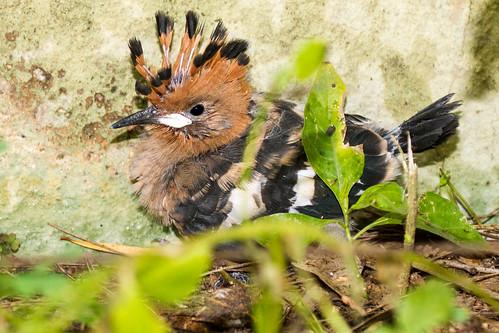 Donnybrook - Hoopoe Chick