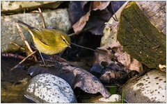 Luì piccolo (Fausto Deseri) Tags: phylloscopuscollybita chiffchaff luìpiccolo sitodimanzolino wildlife nature birds wild oasiditivolimanzolino pentaxk3 pentaxfa300mmf45edif tckenkoaf15x