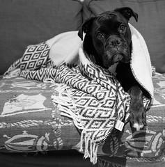 _DSF0192 (michael.hultstrom) Tags: dog blackwhite blanket boxer madicken