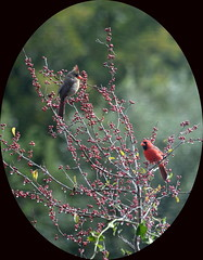 Red Berries & Red Birds (Kreative Capture) Tags: red food male water birds female texas berries framed drips soaked drenched cardincals