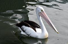 Pelican cruising (Merrillie) Tags: sea nature water animals fauna bay nikon scenery waterfront wildlife australia pelican views nsw brisbanewater woywoy d5500 nswcentralcoast centralcoastnsw