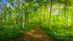 The Path (B.AA.S.) Tags: morning travel trees plant tree nature grass norway forest sunrise woodland outdoors norge leaf spring path natur skog tre idyllic springtime tnsberg soloppgang trr vestfold 2016 woodanemone beautyinnature gullkrona