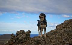 4mai_Thorbjorn_050 (Stefn H. Kristinsson) Tags: dog mountain dogs iceland spring hiking may ma vor hundur sland ganga fjallganga tamron2875mm grindavk hundar grindavik orbjrn nikond800 thornbjorn orbjarnarfell