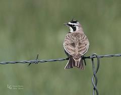 Horned Lark--2-78 (LGNaturePhotos) Tags: hornedlark nearmalheurnwr rueredroad centraloregontrip2016