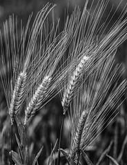 Ear of barley (pontesrocs) Tags: monochrome barley plante noir grain harvest ear et blanc abstrait blakwhite